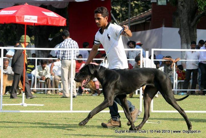 ex-107,great dane,sw-83,, Vadodara Dog Show , DogSpot.in