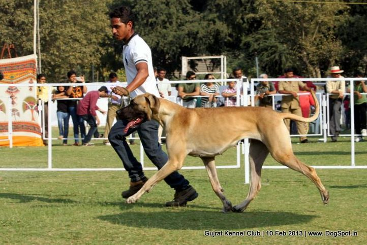 ex-112,great dane,sw-83,, Vadodara Dog Show , DogSpot.in
