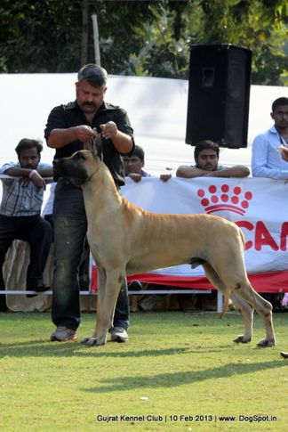 ex-114,great dane,sw-83,, Vadodara Dog Show , DogSpot.in