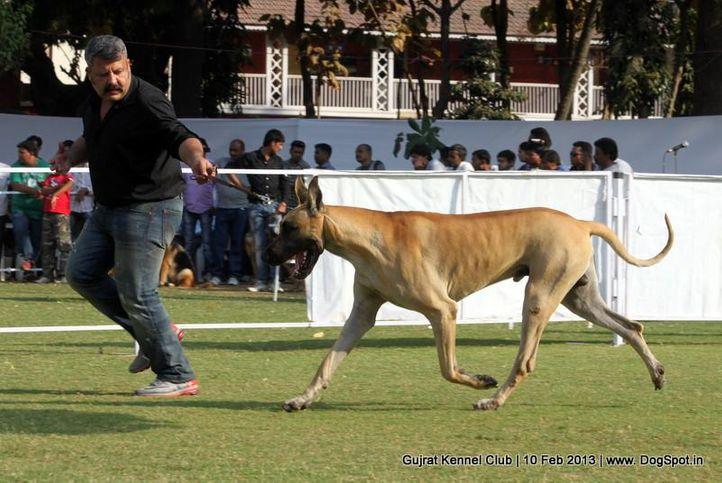 ex-114,great dane,sw-83,, Vadodara Dog Show , DogSpot.in