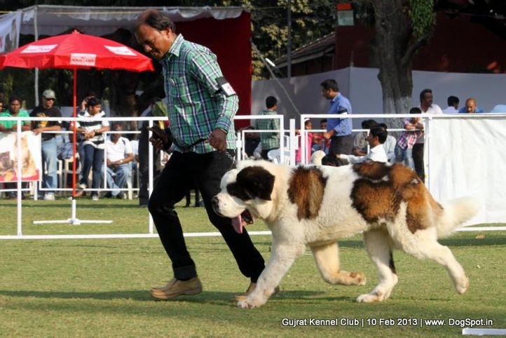 ex-129,stbernard,sw-83,, Vadodara Dog Show , DogSpot.in