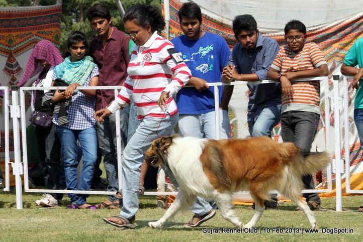 ex-132,rough collie,sw-83,, Vadodara Dog Show , DogSpot.in