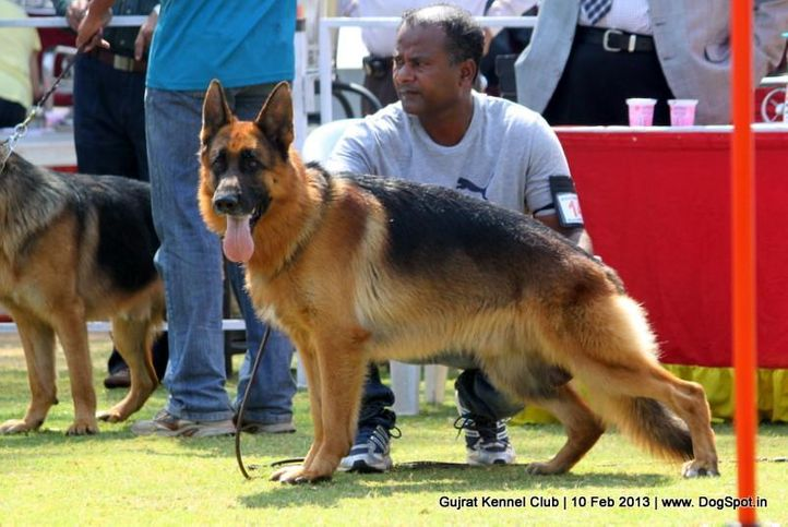 ex-141,german shepherd,sw-83,, Vadodara Dog Show , DogSpot.in