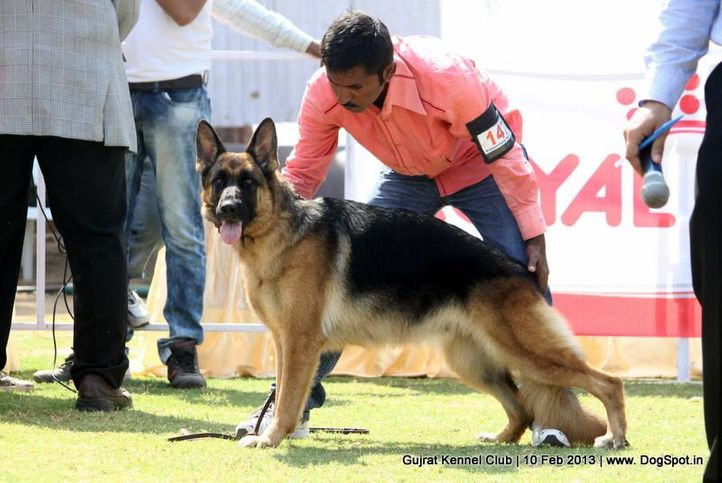ex-147,german shepherd,sw-83,, Vadodara Dog Show , DogSpot.in