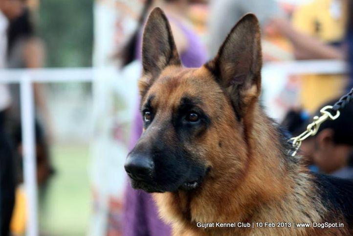 ex-150,german shepherd,sw-83,, Vadodara Dog Show , DogSpot.in