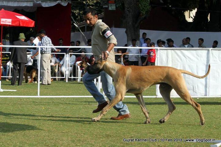 ex-156,great dane,sw-83,, Vadodara Dog Show , DogSpot.in