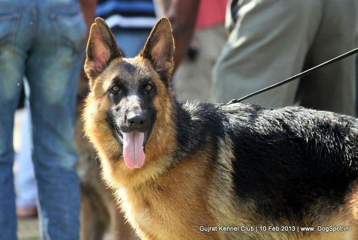 german shepherd,sw-83,, Vadodara Dog Show , DogSpot.in