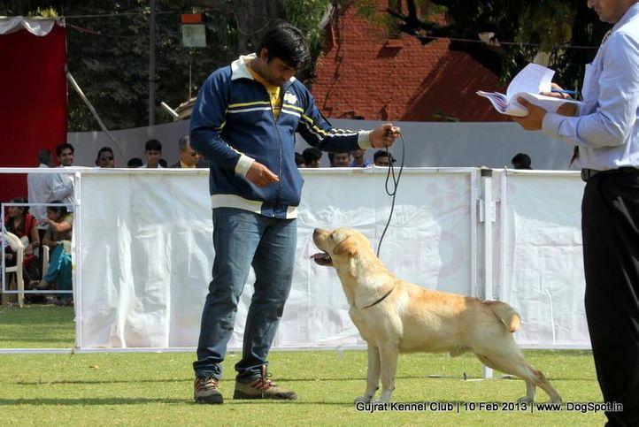 labrador retriever,sw-83,, Vadodara Dog Show , DogSpot.in