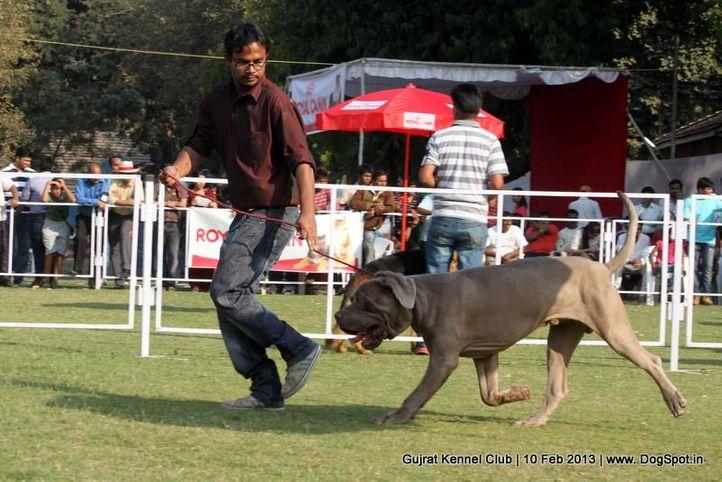 neapolitan mastiff,sw-83,, Vadodara Dog Show , DogSpot.in