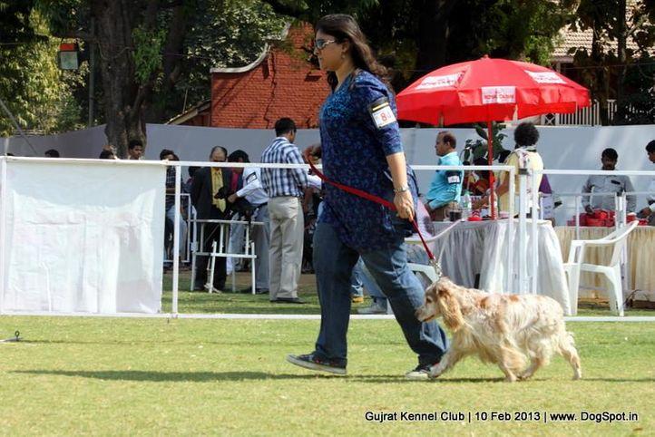 cocker spaniel,ex-84,sw-83,, Vadodara Dog Show , DogSpot.in