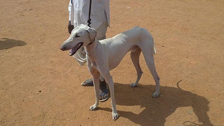 bangalore dog show photos, White Mudhol Hound, DogSpot.in