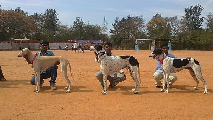 bangalore dog show photos, Winner Mudhol Hound, DogSpot.in